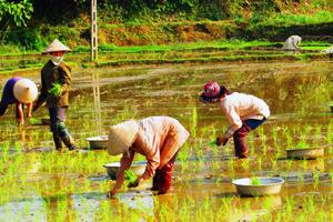 Primera cosecha de arroz en Tuyen Quang