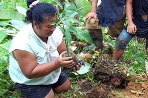 Cultivo del caucho para que las poblaciones más vulnerables salgan de la pobreza