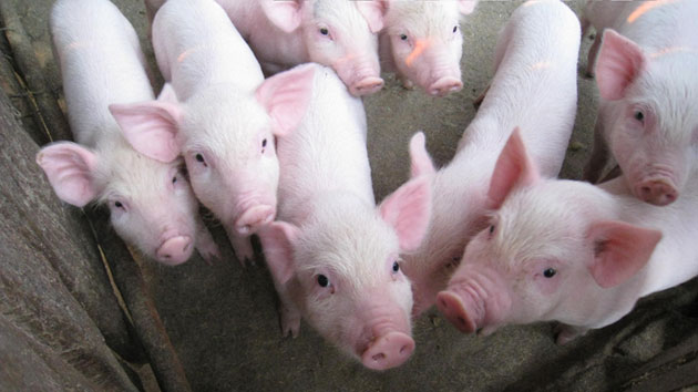 Strengthening the pork value chain to increase vulnerable farmers' income