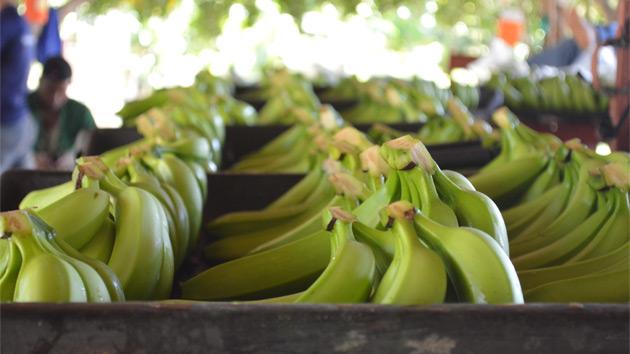 Asociación de pequeños productores de banano de República Dominicano se fortalece gracias al apoyo de CODESPA y el programa BAM